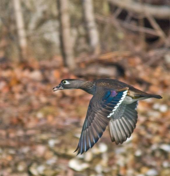 Wood Duck 209