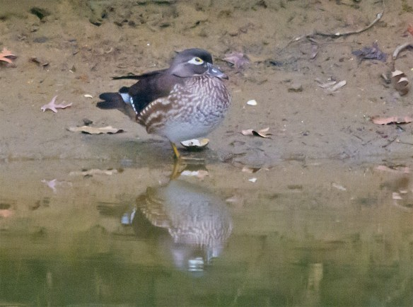 Wood Duck 212