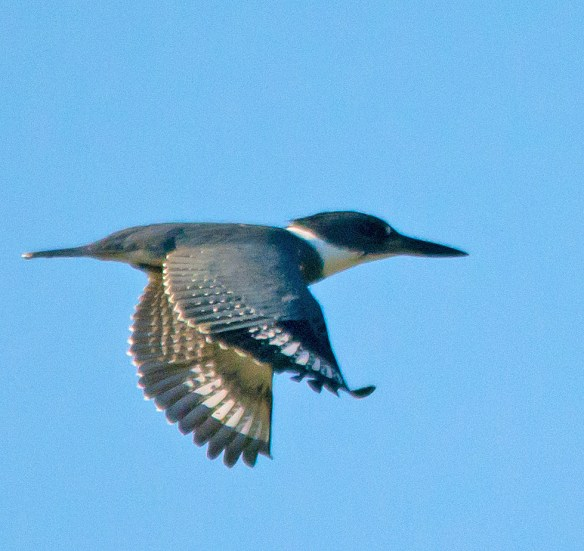 Belted Kingfisher 116