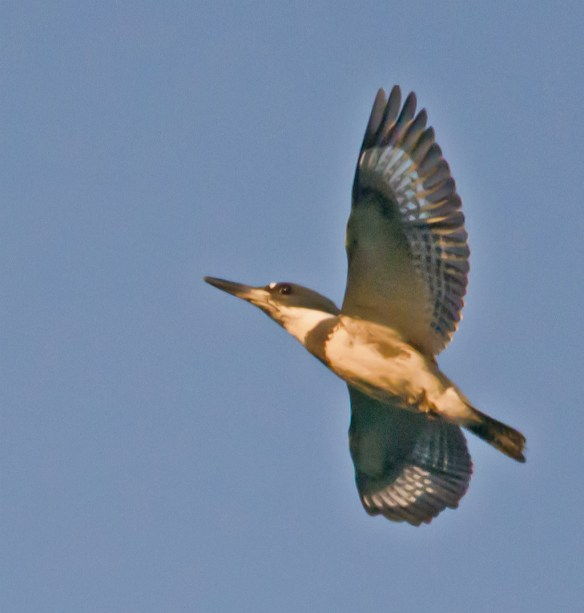 Belted Kingfisher 114