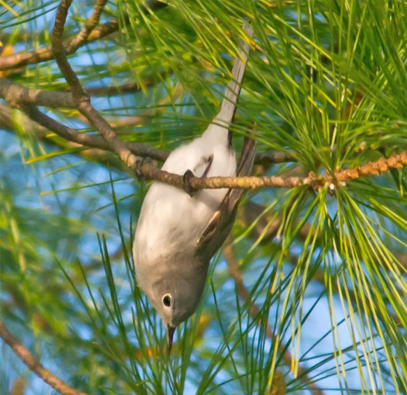 Blue Gray Gnatcatcher 205 (1)