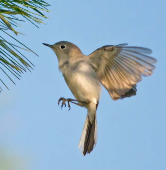 Blue Gray Gnatcatcher 207