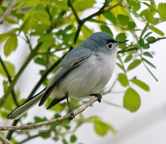 Blue Gray Gnatcatcher 209