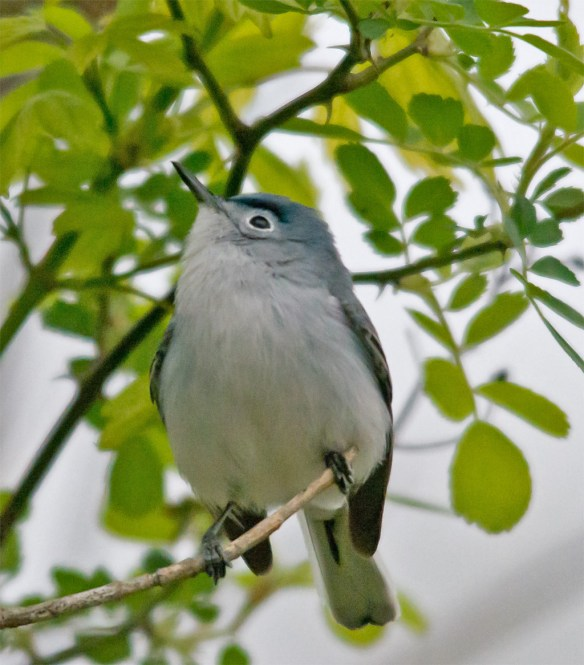 Blue Gray Gnatcatcher 210