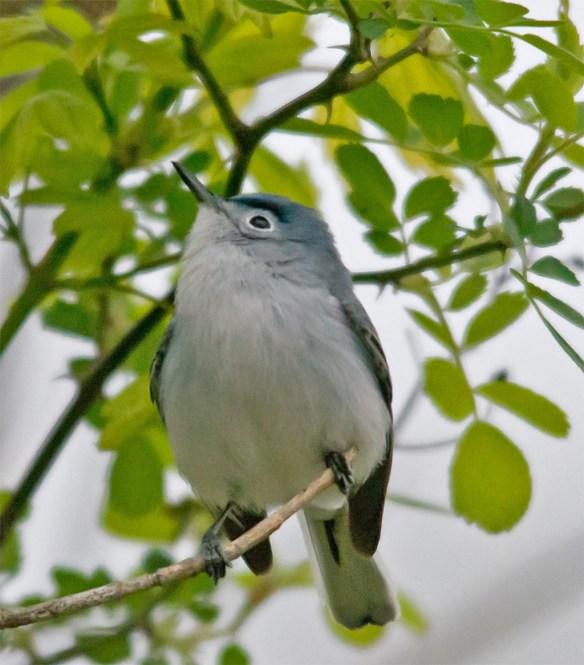 Blue Gray Gnatcatcher 210