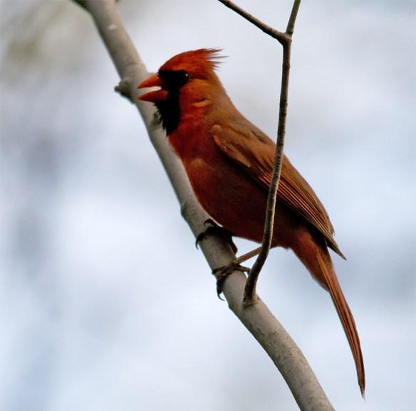 Cardinal 185