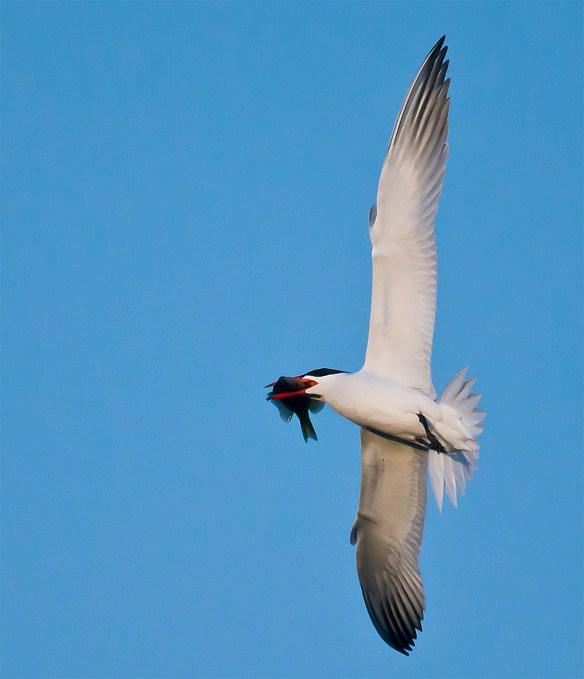 Caspian Tern 104