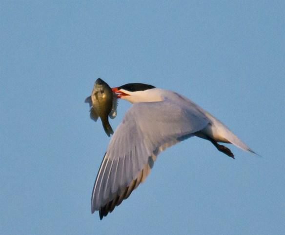 Caspian Tern 107