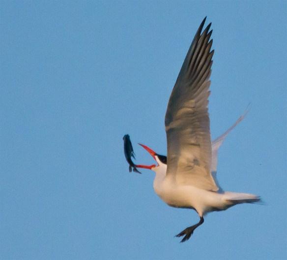 Caspian Tern 108