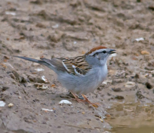 Chipping Sparrow 102