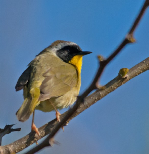 Common Yellowthroat 103
