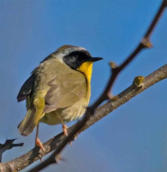 Common Yellowthroat 103