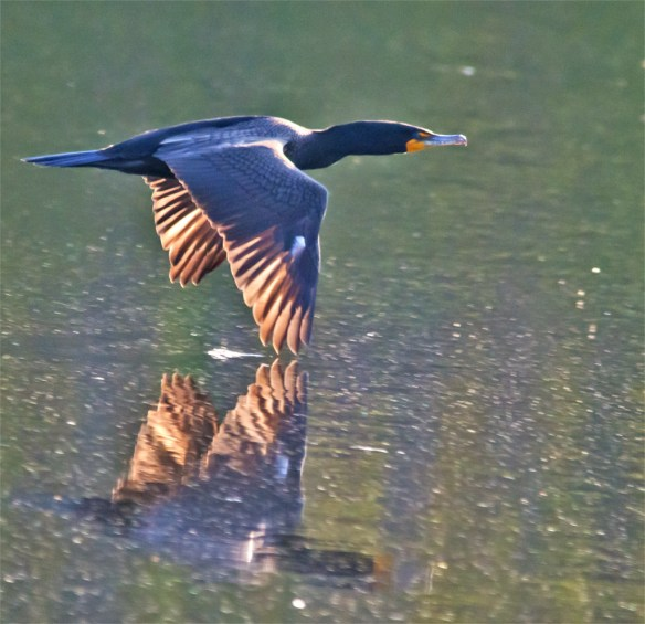 Double Crested Cormorant 106