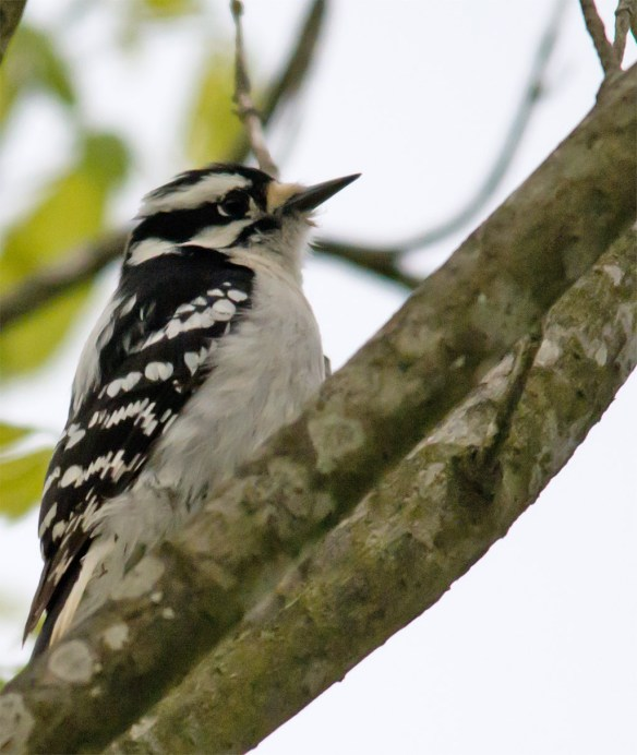Downy Woodpecker 026