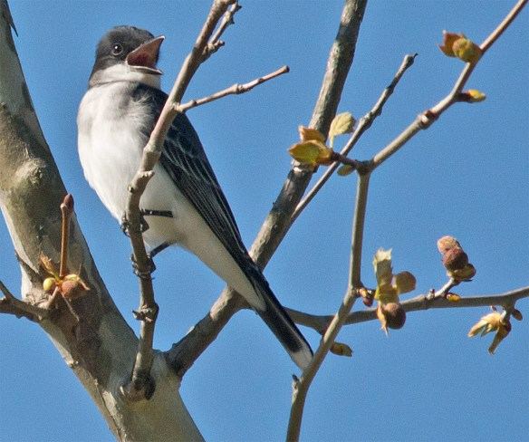 Eastern Kingbird 101