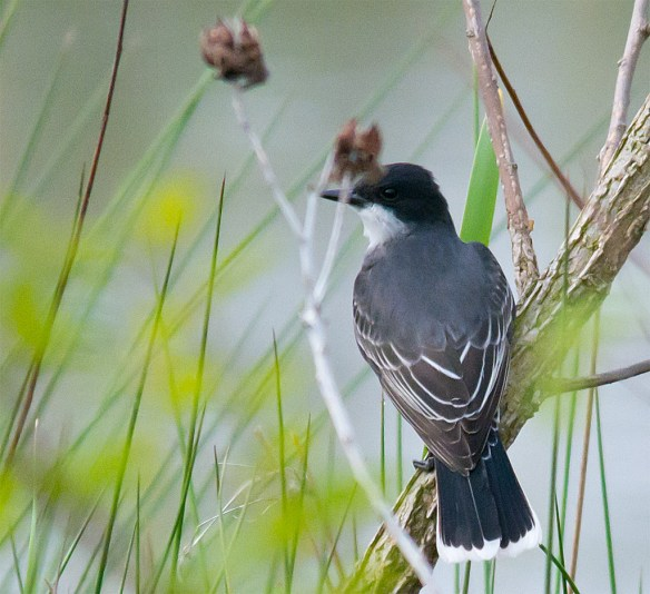Eastern Kingbird 102