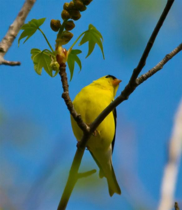 Goldfinch 200