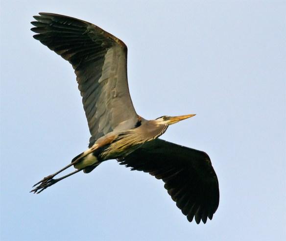 Great Blue Heron 290