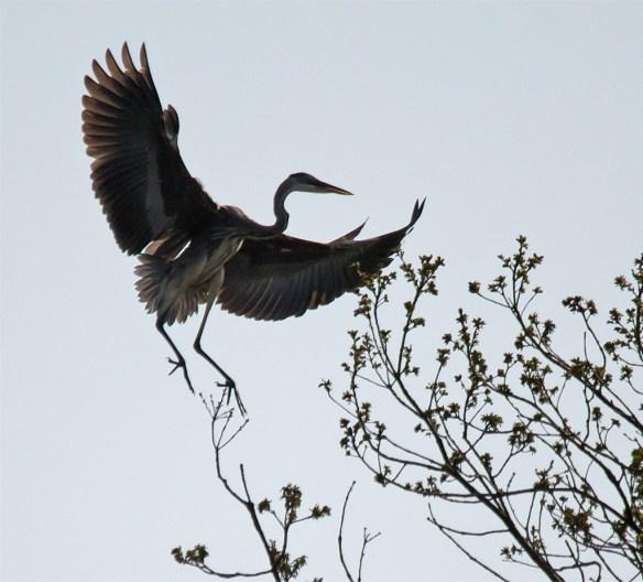 Great Blue Heron 292