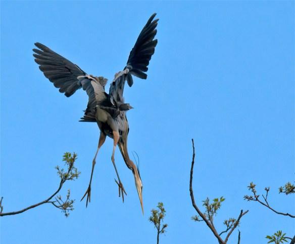 Great Blue Heron 293