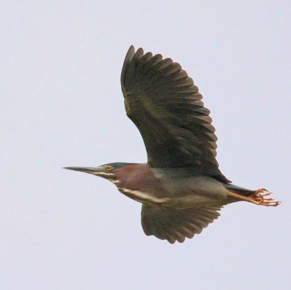 Green Heron 100