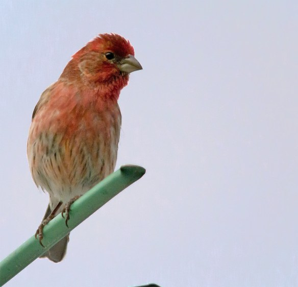 House Finch 101