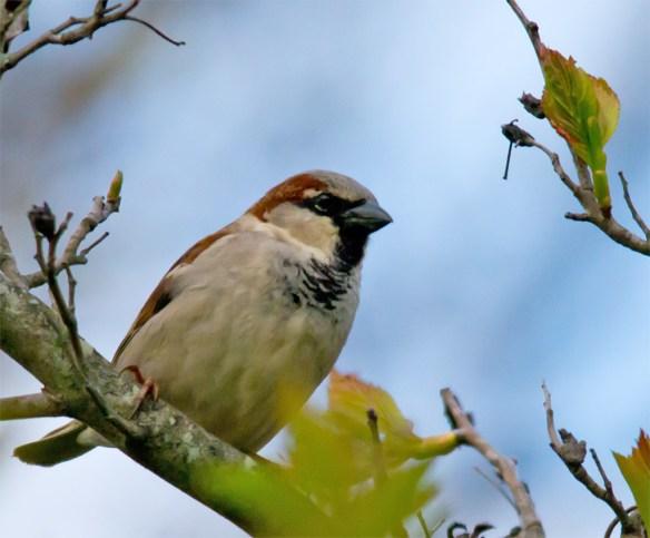 House Sparrow 100