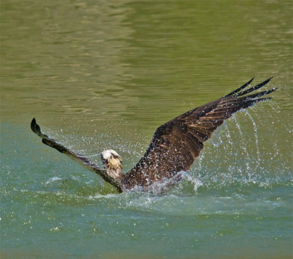 Osprey 301