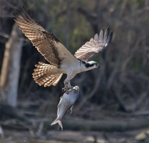 Osprey 321