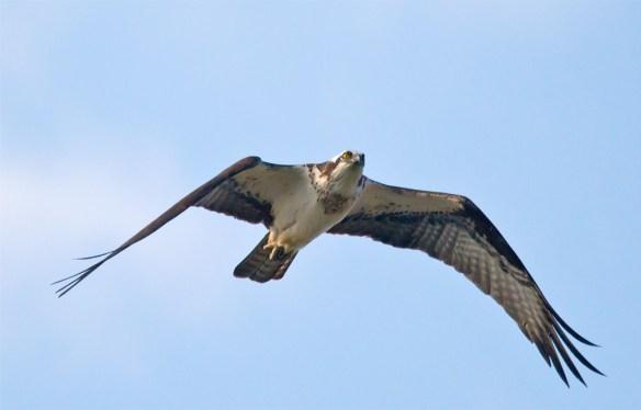 Osprey 323