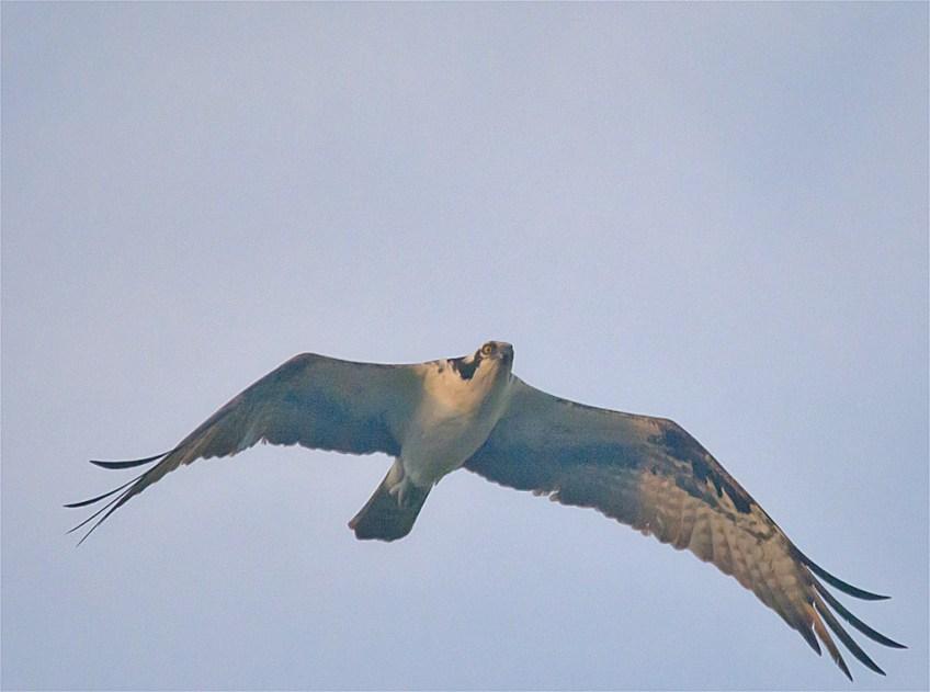 Osprey 326