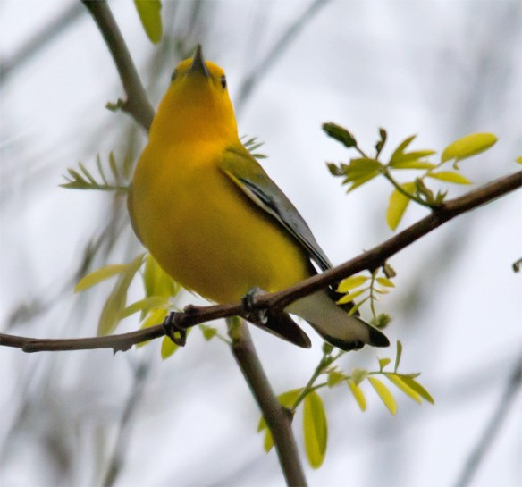 Prothonotary Warbler 103