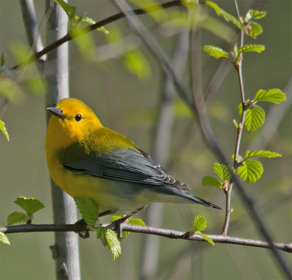 Prothonotary Warbler 110