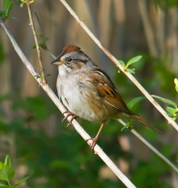 Swamp Sparrow 108
