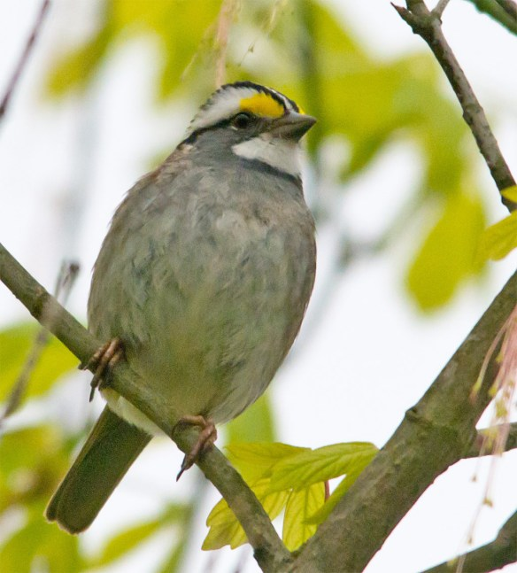 White Throated Sparrow 205