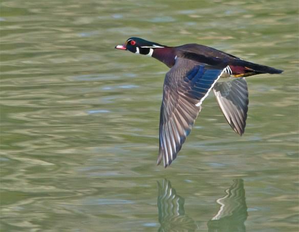 Wood Duck 218