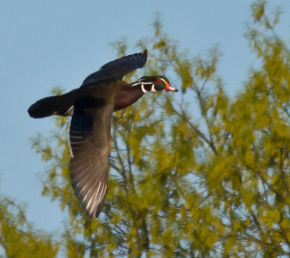 Wood Duck 230