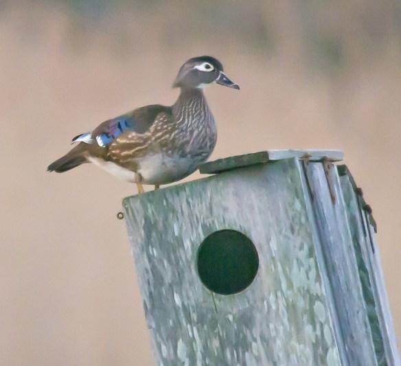 Wood Duck 231