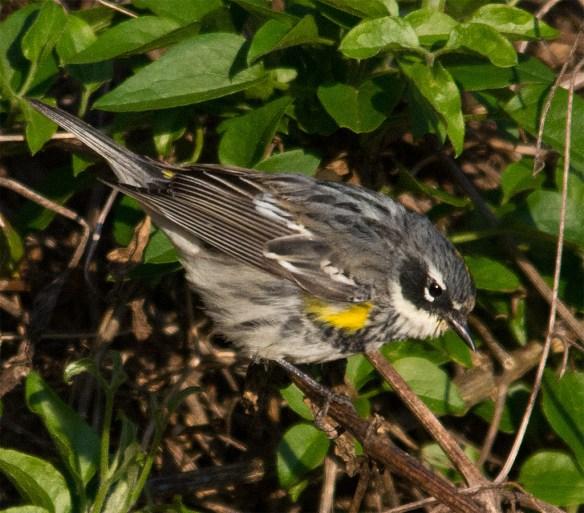 Yellow Rumped Warbler 203