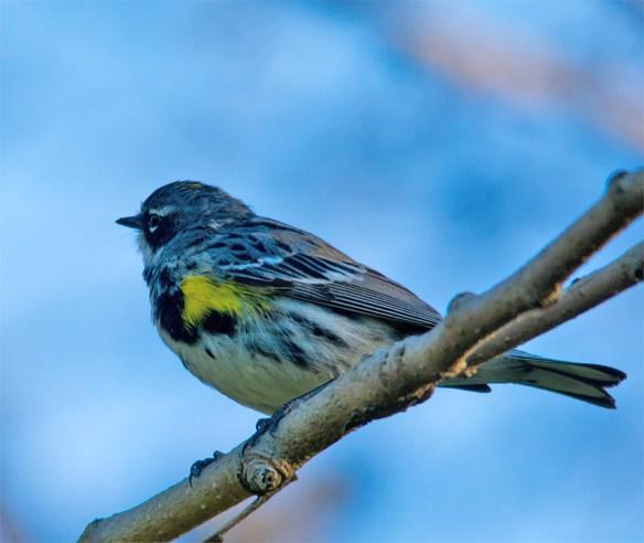 Yellow Rumped Warbler 207