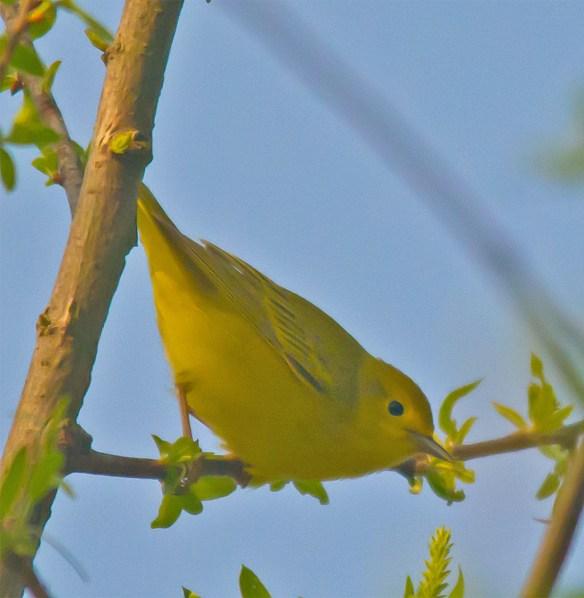Yellow Warbler 102