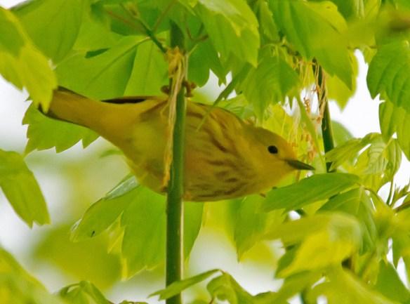 Yellow Warbler 104