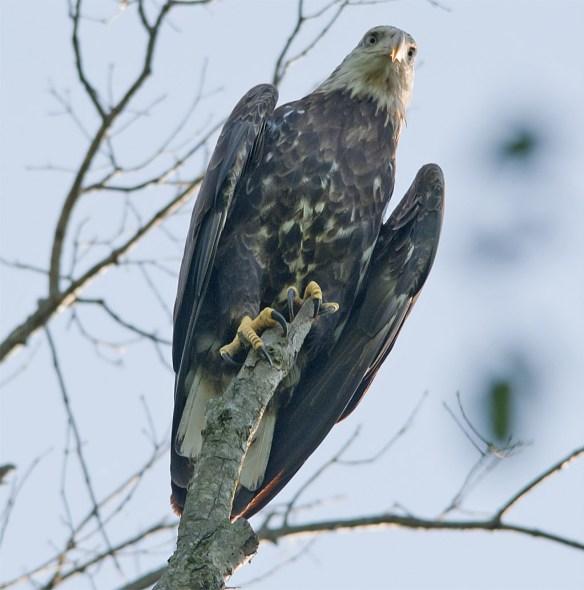 Bald Eagle 417