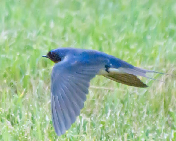 Barn Swallow 22