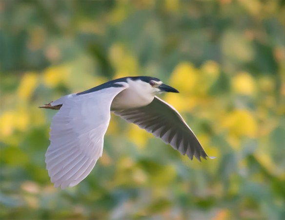 Black Crowned Night Heron 50