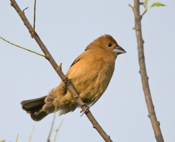 Blue Grosbeak 206