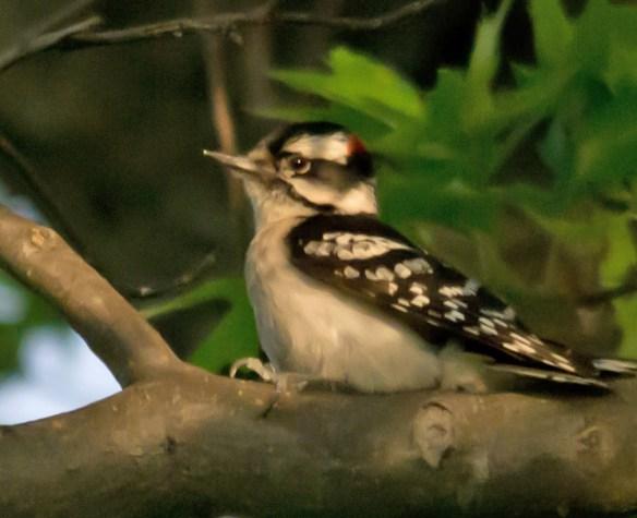 Downy Woodpecker 029