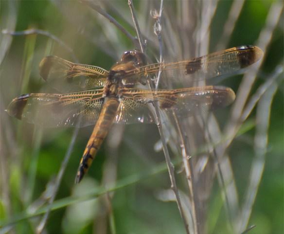 Dragonfly 43