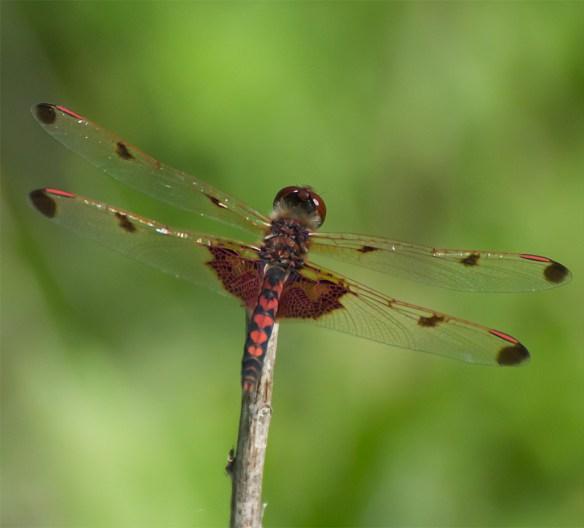 Dragonfly 44