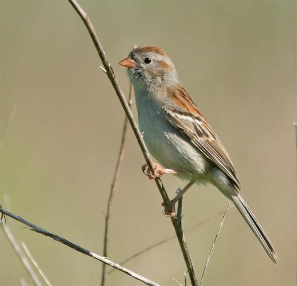 Field Sparrow 101